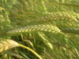 Продаем семена ярового ячменя Вакула, элита. Производитель