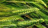 Семена ярового ячменя Командор, элита от производителя