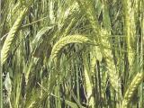 Семена ярового ячменя 1 репродукции. Производитель