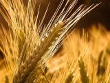 Семена. Яровой ячмень. Сорт Галичанин. Элита от производителя