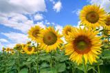 Семена подсолнуха (посевмат) по Низким Ценам