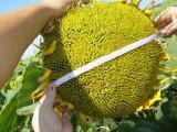 насіння соняшнику - Армагедон ІМІ