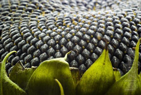семена подсолнечника устойчивые к гранстару