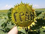 насіння соняшника Нео (107-110 дн.) толерантний до гранстару