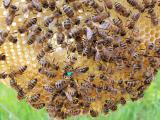 Пчеломатка Карпатка 2020 года Пчелинная Матка (Бджоломатки)