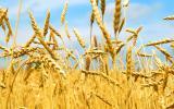 Насіння пшениці озимої Ліра одеська
