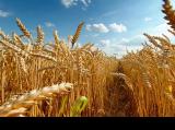Куплю зерно пшеницы