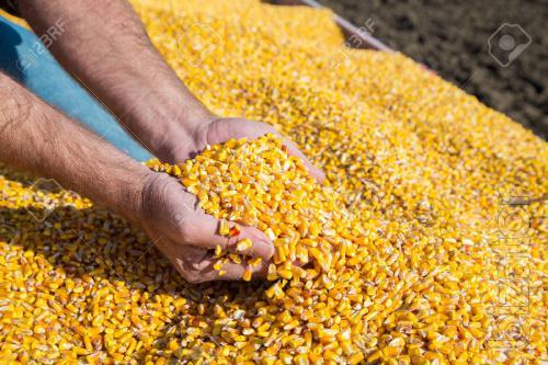 Куплю кукурузду