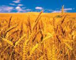 Пшеница 2 класса, самовывоз! От производителя! По высокой цене! От 500 тонн!