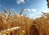 Пшеница 2,3,4 класс. Самовывоз! от 500 тонн!