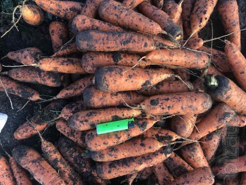 Опт морковь «Боливар» Ужгород. Предлагаем сотрудничество