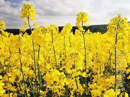 "Seeds of winter rape ""pioneer"", the domestic varieties Dangal,Light,Dembo,Atlas, etc."