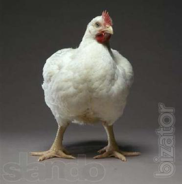 chicken broiler