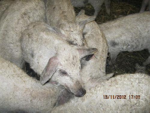 sell piglets Hungarian mangalis (curly down) and rock Grill
