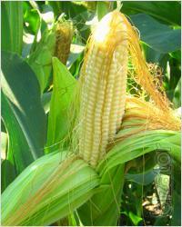 """The original seeds of maize hybrids """"PIONEER"""""""