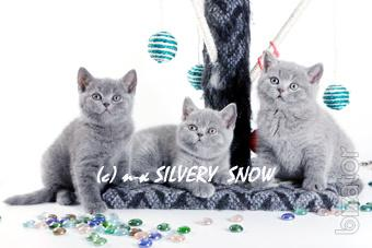 Sold blue British kittens from cattery
