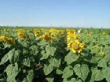 """The original seeds of sunflower hybrids """"PIONEER"""""""
