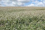 "Will sell seeds buckwheat ""Dikul"", ""Nine"" 1 reproduction"