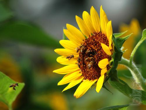 sell sunflower seeds,corn