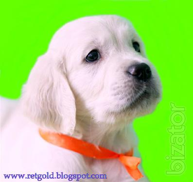 Golden Retriever puppies. One of the most popular breeds in the world!