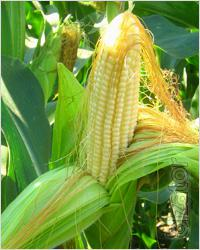 """The original seeds of maize and sunflower """"Pioneer"""" in 2014"""