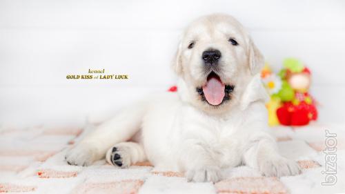 Golden Retriever puppies. Ideal for all