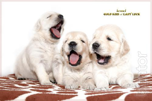 Golden Retriever puppies. the Golden rays of the sun!