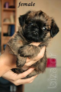 Griffon puppy is the best gift a loved one