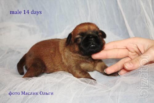The Griffon puppies small dogs