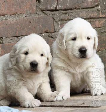 Golden Retriever puppies. The best friend of children!