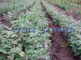 seedlings currant