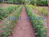 seedlings raspberry