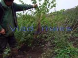 seedlings gooseberry