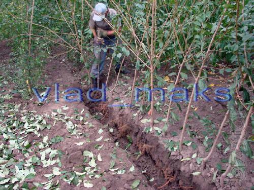 seedlings plum
