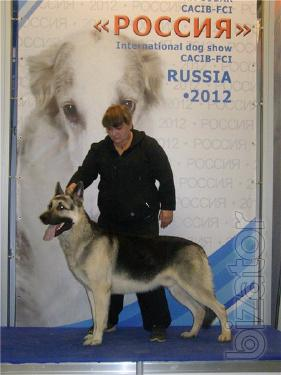 puppies East-European shepherd from a couple of Champions of Ukraine and Russia
