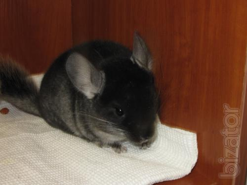 Chinchilla from a nursery in the city of Sumy