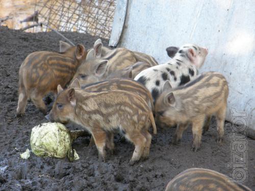 piglets grills