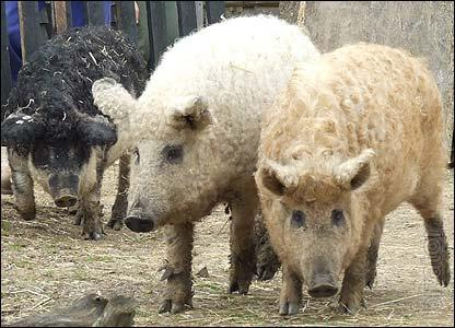 pigs breed Hungarian down mangalica