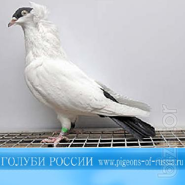 A collection of movies on pigeon breeding