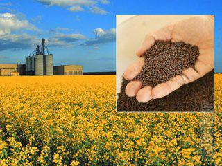 Sale of seeds of sunflower and canola hybrids