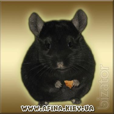 Chinchilla - the best gift for the family!
