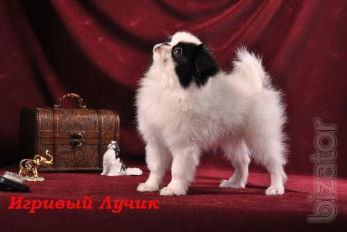 Japanese Spaniel - aristocrat East
