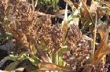 Sell seeds of grain sorghum Prime F1