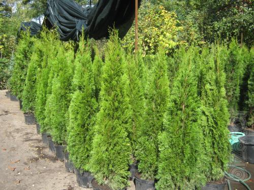 Arborvitae,thuja Kiev to buy,hedges,columnar arborvitae