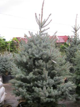 Spruce, blue spruce Kyiv buy, sale blue spruce coniferous plants