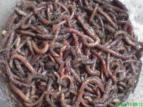 Californian worm