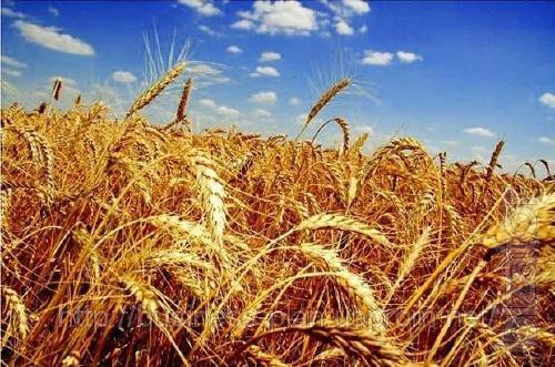 "The company LLC ""SOUTHERN agro trade"" on a regular basis buys wheat."