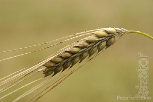 """The company LLC """"SOUTHERN agro trade"""" on a regular basis buys barley."""