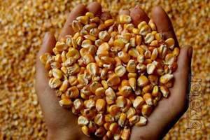 "The company LLC ""SOUTHERN agro trade"" on a regular basis buys corn."