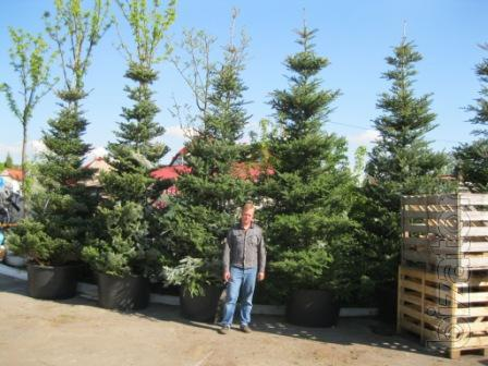 Fir Kiev to buy, Fir of Korean,conifers